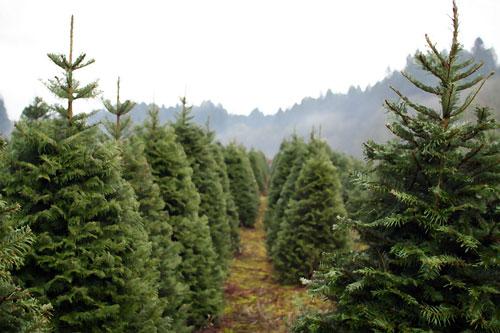 treefarmimg_5732
